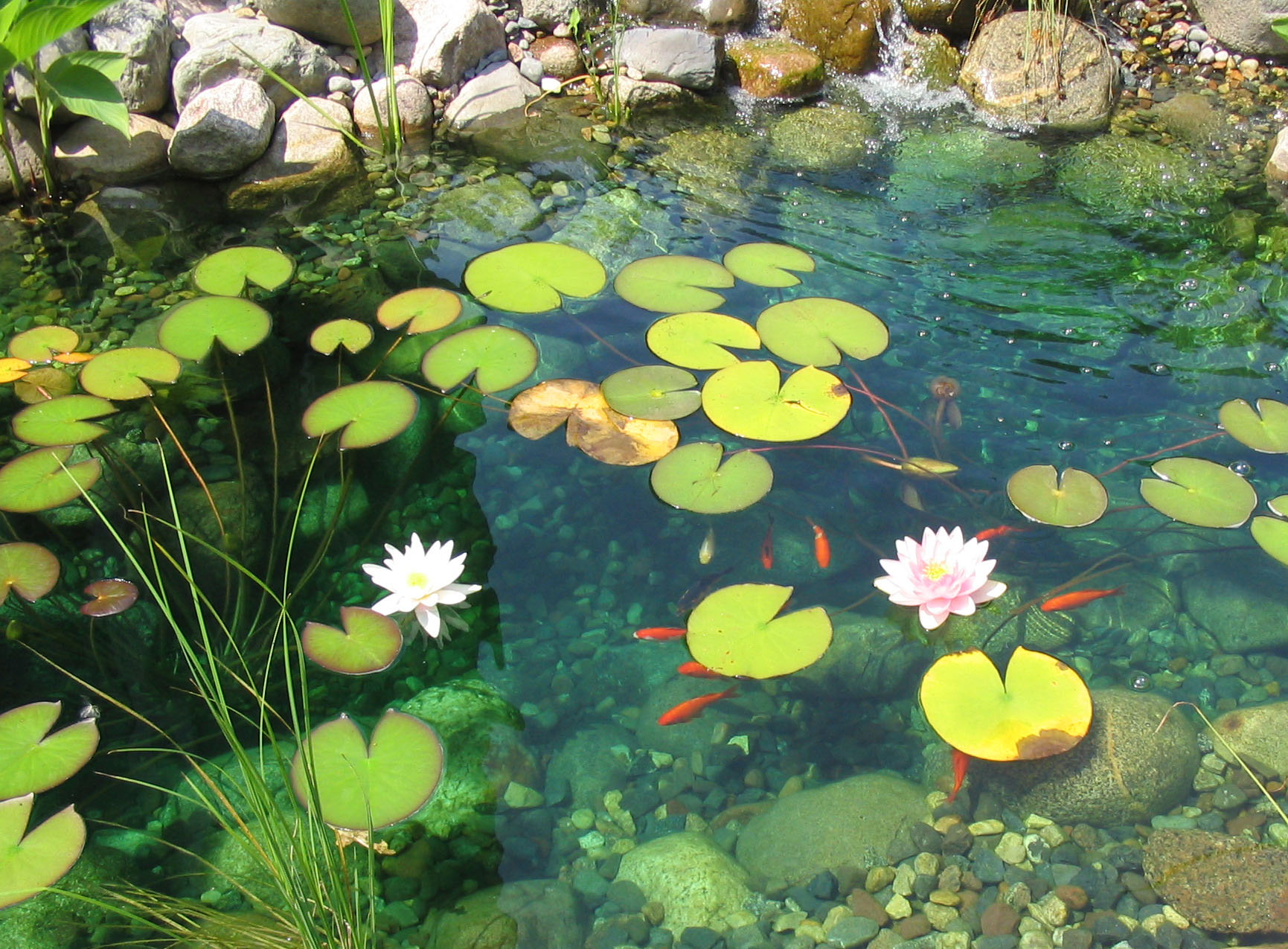 Sparkling lake on pinterest painted turtles mac for Koi pond water plants